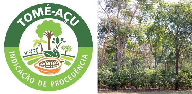 IG認証ロゴとアグロフォレストリーの農場内のカカオの様子(下層木)
