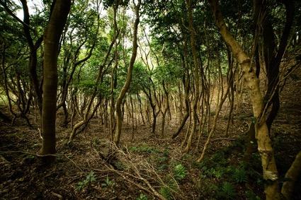 徳島県美波町の「町の木」であるウバメガシ